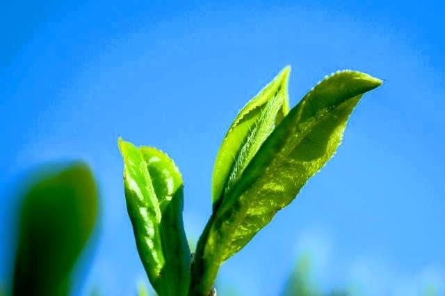 新茶 茶 かめりあ 緑茶