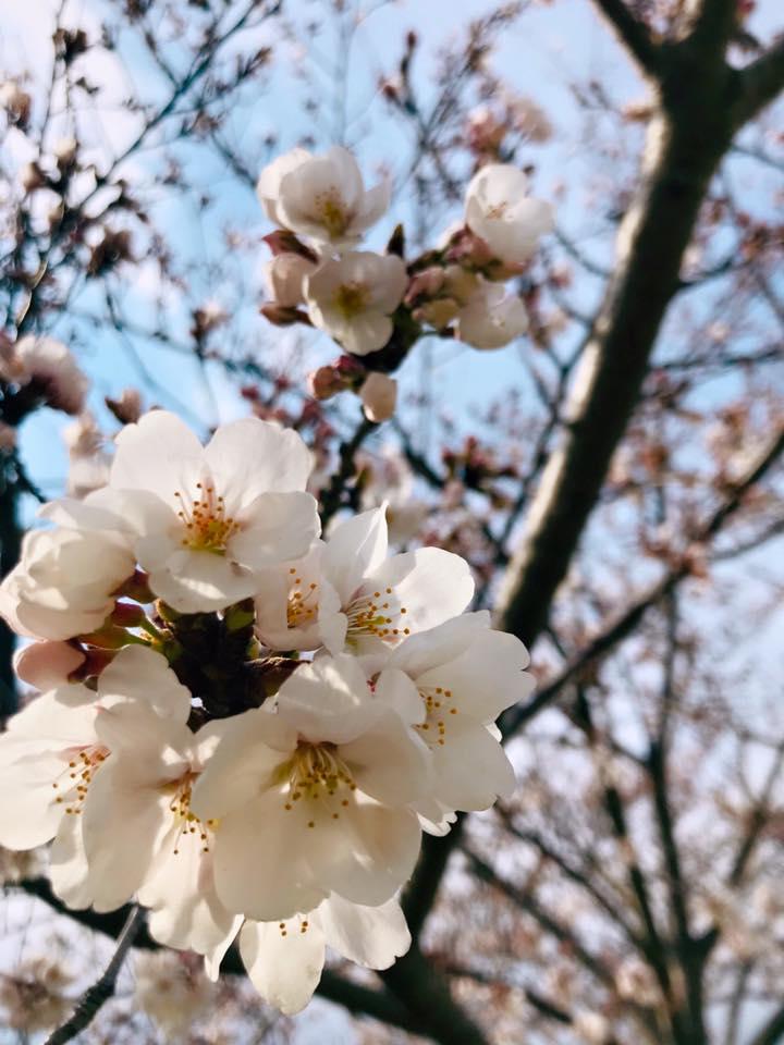 桜 春 かめりあ